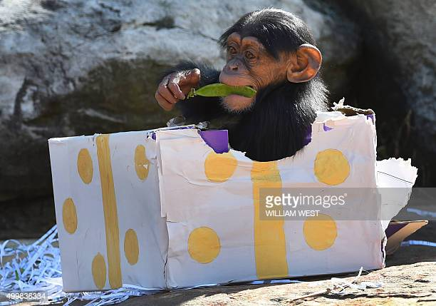 A Taronga Zoo baby chimpanzee plays with its Christmas treats designed to challenge and encourage their natural skills in Sydney on December 4 2015...