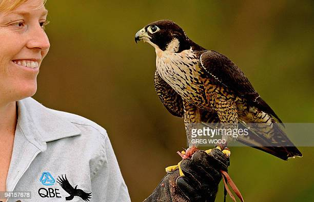 Taronga Zoo bird trainer Erin Stone holds a young male Peregrine Falcon the world's fatest animal following a short flying lesson in Sydney on...