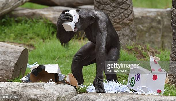 A Taronga Zoo chimpanzee gathers some Christmas presents after some giftwrapped food treats and other tasty decorations were left inside the exhibit...