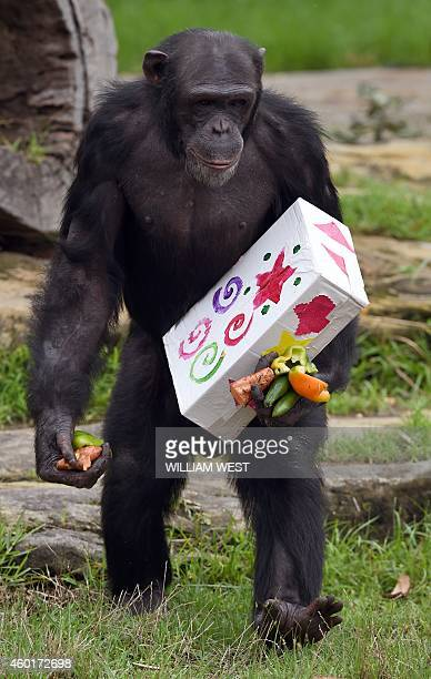 A Taronga Zoo chimpanzee walks with a Christmas present after some giftwrapped food treats and other tasty decorations were left inside the exhibit...
