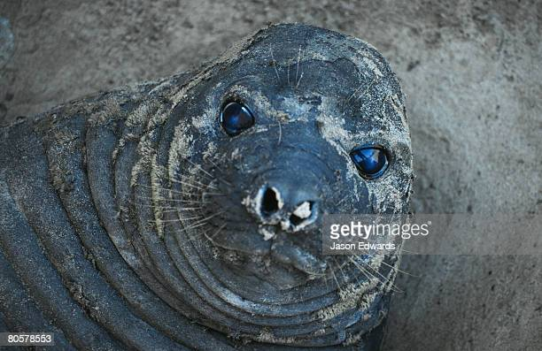 Vulnerable Female Southern Elephant Seal face portrait flabby skin relax rest cute humour