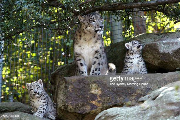 Taronga Zoo welcomes 2 snow leopard cubs that were born in the zoo's breeding program They are pictured with their mother on the first day of the...