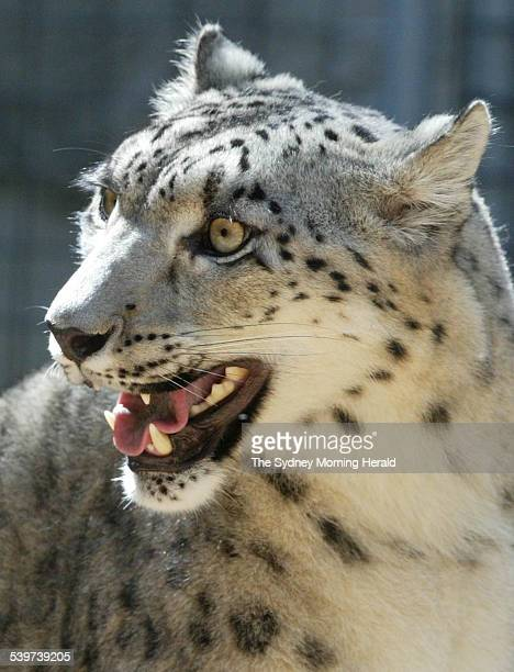 Taronga Zoo welcomes 2 snow leopard cubs that were born in the zoo's breeding program Their mother on the first day of the public appearance 20...