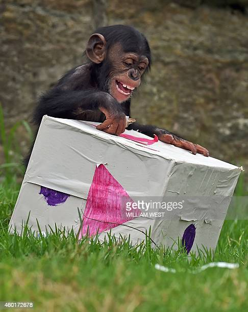 Taronga Zoo's 15monthold chimpanzee 'Fumo' opens one of his Christmas presents after the chimps at the exhibit discovered some giftwrapped food...