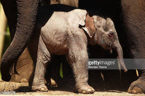 Taronga's first female elephant calf explores the paddock with her mother Pak Boon at Taronga Zoo on November 3, 2010 in Sydney, Australia. The 120kg...