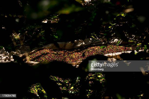 A tarp filled with harvested coffee beans sits among coffee plants at the Ponto Alegre estate farm in Cabo Verde in the state of Minas Gerais Brazil...