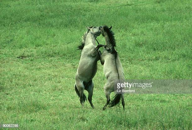 tarpan: equs caballus  males fighting  poland