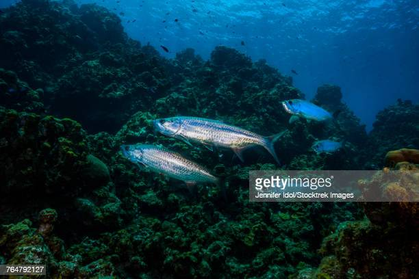 Tarpon pass by on a reef in Grand Cayman, Cayman Islands.