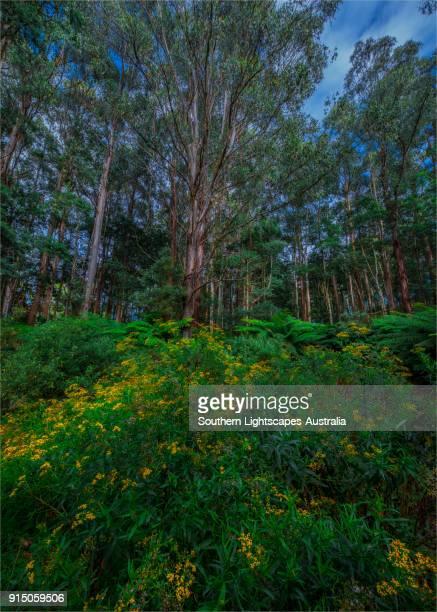 Tarra Bulga National Park, South Gippsland, Victoria.