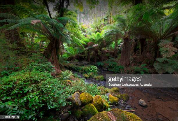 tarra river winding its way through the tarra bulga national park, south gippsland, victoria - forest floor stock photos and pictures
