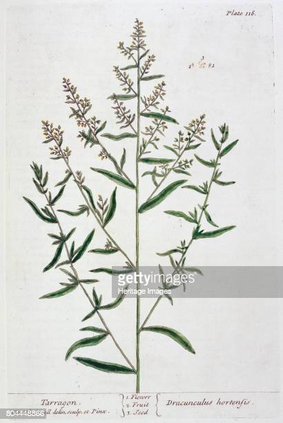 Tarragon 1782 Plate 16 from A Curious Herbal by Elizabeth Blackwell published in 1782 Artist Elizabeth Blackwell