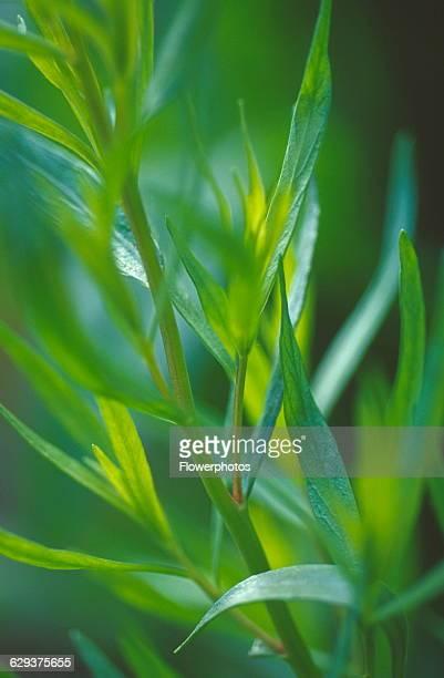 Tarragon Artemisia dracunculus