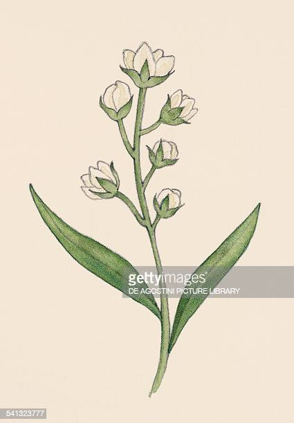 Tarragon Asteraceae drawing