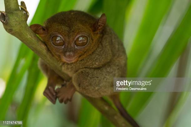tarsier de bohol - tarsier stock photos and pictures