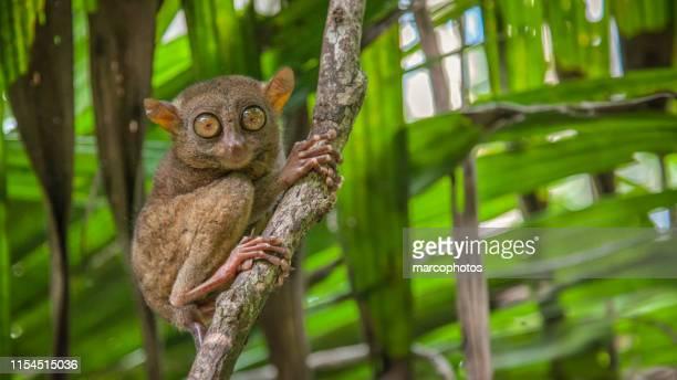 tarsier des philippines - tarsier stock photos and pictures