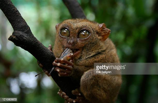 tarsier eating - tarsier stock photos and pictures