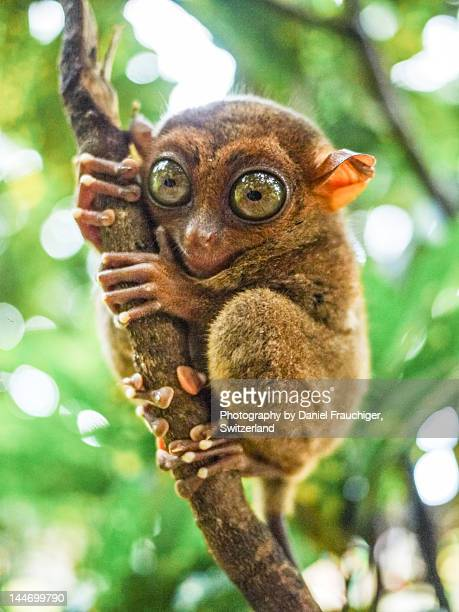 tarsier in bohol - tarsier stock photos and pictures