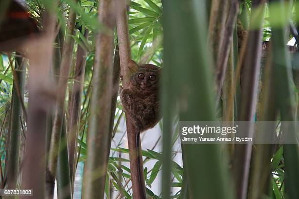 Tarsier Looking At Camera
