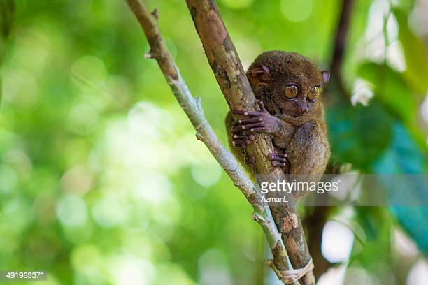 tarsier monkey - tarsier stock photos and pictures
