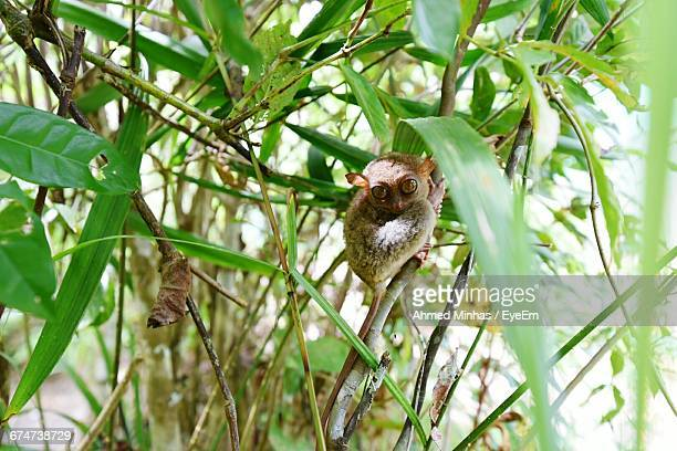 Tarsier On Holding Plant Stem
