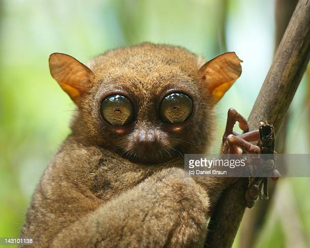 tarsier on tree branch - tarsier stock photos and pictures
