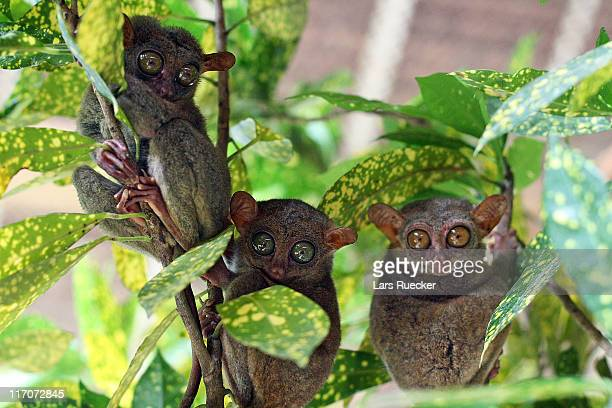 tarsier - tarsier stock photos and pictures