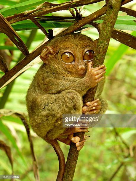 tarsier sanctuary, corella, bohol - tarsier stock photos and pictures