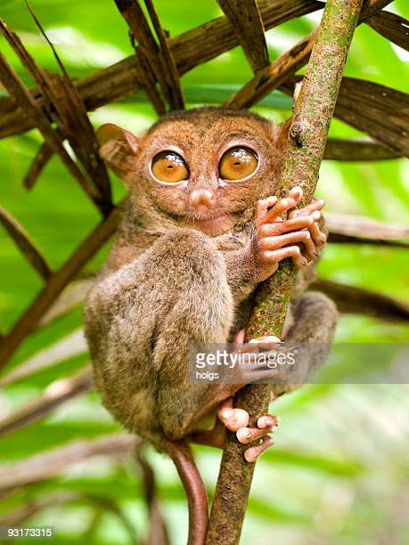 tarsier - tarsius syrichta - tarsier stock photos and pictures