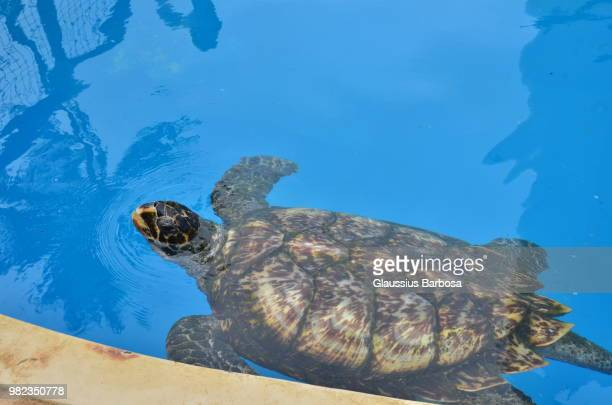 Tartaruga adulta, projeto TAMAR