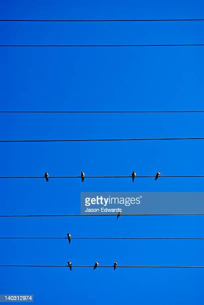 a flock of diminutive welcome swallows roost on electric powerlines. - parallel stock pictures, royalty-free photos & images