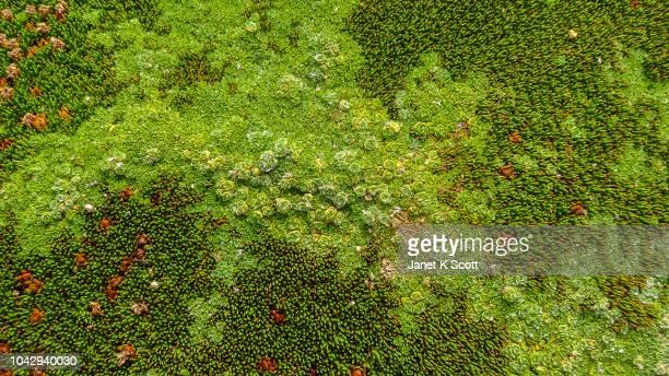 tasmania cushionplant - janet scott stock pictures, royalty-free photos & images