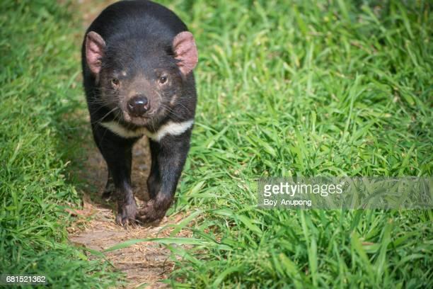 tasmania devil in phillip island wildlife park, australia. - demonio de tasmania fotografías e imágenes de stock
