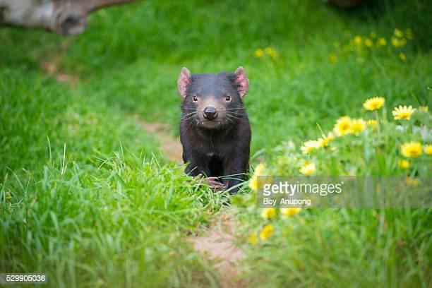 tasmania devil of australia. - demonio de tasmania fotografías e imágenes de stock