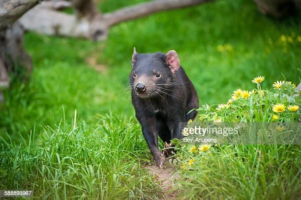 tasmania devil run in the wildlife park - demonio de tasmania fotografías e imágenes de stock
