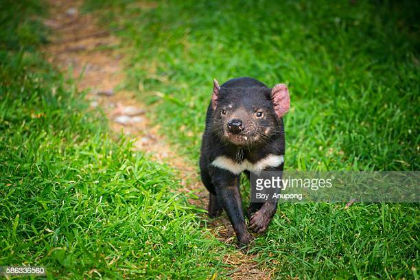 tasmania devil the iconic animal of tasmania, australia. - devils island stock photos and pictures
