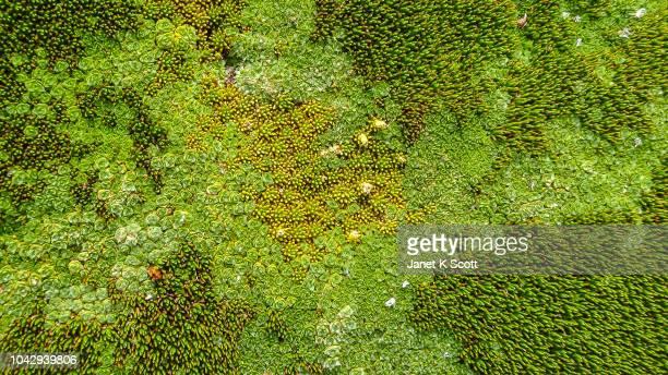 tasmanian cushionplant - janet scott stock pictures, royalty-free photos & images
