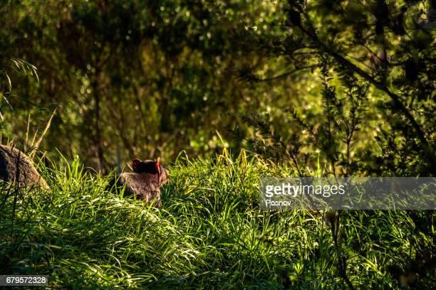 tasmanian devil at tasman peninsula - demonio de tasmania fotografías e imágenes de stock