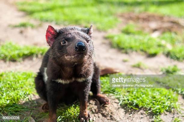 tasmanian devil | bicheno | tasmania - demonio de tasmania fotografías e imágenes de stock