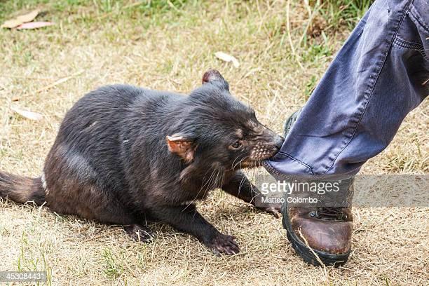 tasmanian devil biting human leg - demonio de tasmania fotografías e imágenes de stock