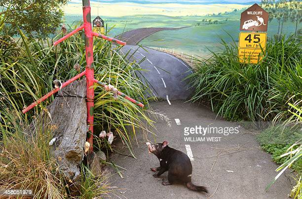 A Tasmanian Devil chews on dead mice and chicks as animals at Sydney's Taronga Zoo received Christmasthemed treats in their enclosures on December 20...