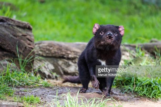 tasmanian devil, cowes nature park - demonio de tasmania fotografías e imágenes de stock