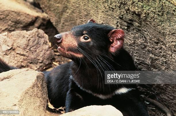 Tasmanian devil Dasyuridae