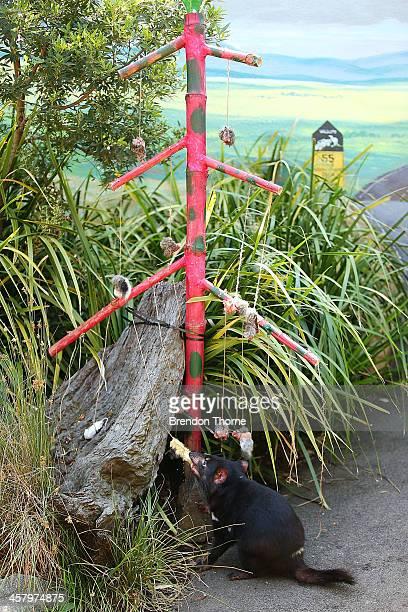 Tasmanian Devil eats a dead rat from a Christmas Tree at Taronga Zoo on December 20 2013 in Sydney Australia Animals received Christmas themed treats...