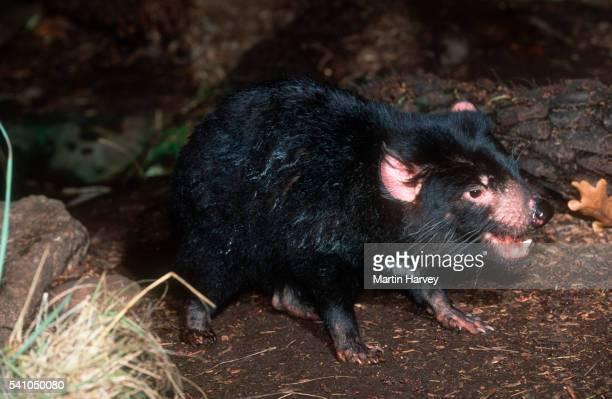 tasmanian devil in australia - demonio de tasmania fotografías e imágenes de stock