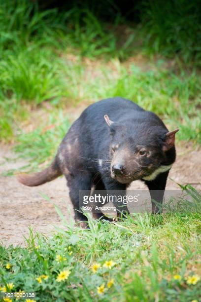 tasmanian devil in phillip island conservation park, australia. - demonio de tasmania fotografías e imágenes de stock