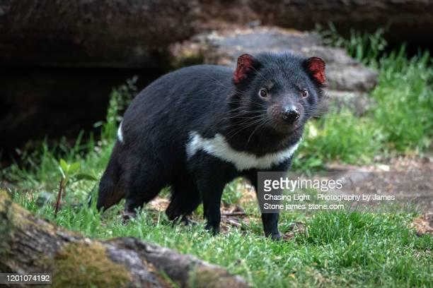 tasmanian devil in woodland - demonio de tasmania fotografías e imágenes de stock
