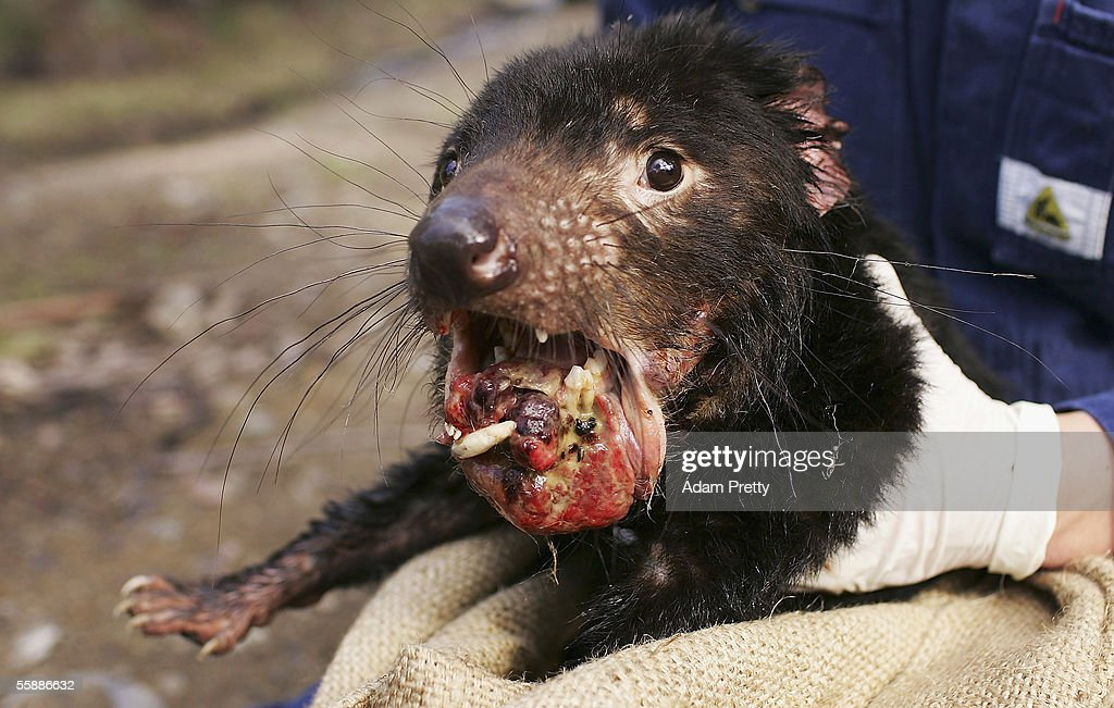 A Tasmanian Devil is captured exhibiting advanced signs of the Devil Facial Tumor Disease October 10, 2005 near Fentonbury, Australia. The Devil, a native marsupial unique to Tasmania, is under threat from Devil Facial Tumor Disease (DFTD) which is decimating numbers throughout Tasmania. Several devils are being monitored under quarantine situations on the mainland, while another group have been moved to Maria Island, to form an 'insurance population' should the disease spread. The Devils have just been listed as a 'vulnerable' species due to the disease.