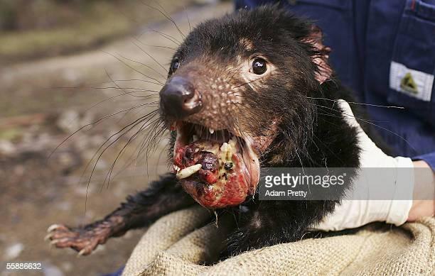 Tasmanian Devil is captured exhibiting advanced signs of the Devil Facial Tumor Disease October 10 2005 near Fentonbury Australia The Devil a native...