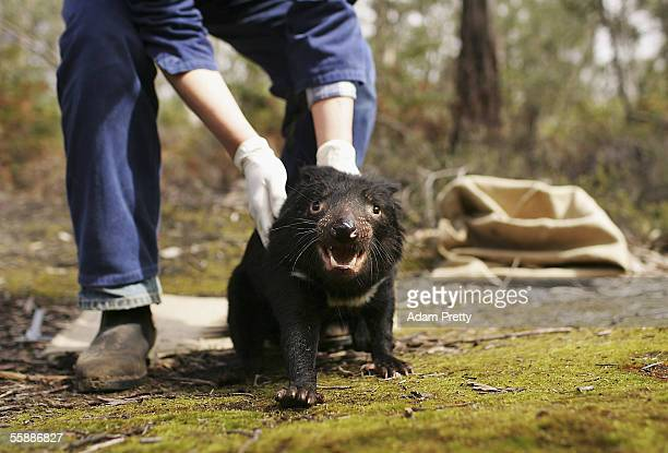 Tasmanian Devil is released after being studied by Billie Lazenby of the Tasmanian Department of Primary Industries Water and Environment after being...