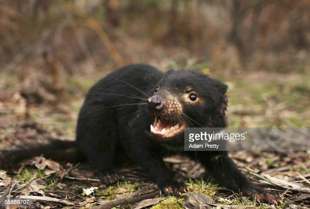 Tasmanian Devil is released in the wild after being captured to check for signs of the Devil Facial Tumor Disease October 10 2005 near Fentonbury...